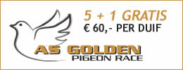 As Golden Pigeon race
